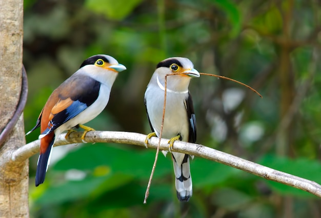 シルバーブレストbroadbill serilophus lunatusタイの美しい鳥