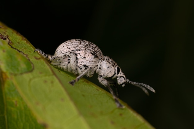Cydianerus latruncularius 종의 넓은코바구미
