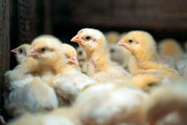 Broiler chicken chicks at the poultry farm.