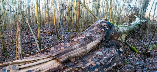 깨진된 자작나무 트렁크 클로즈업, 바닥에 누워.