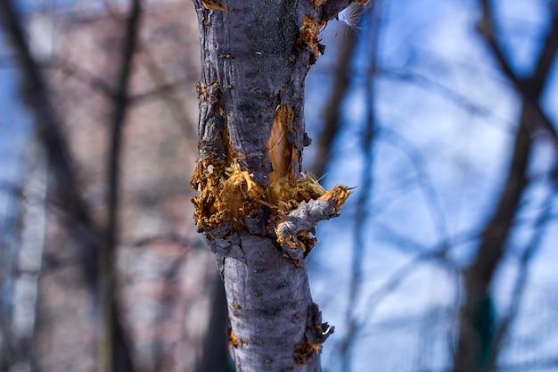 Сломанные ветви дерева в парке, на открытом воздухе после шторма или обглоданные собакой.
