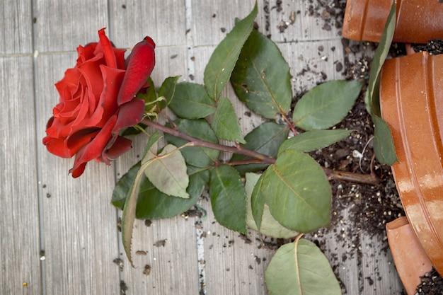 Broken flowerpot with a red rose