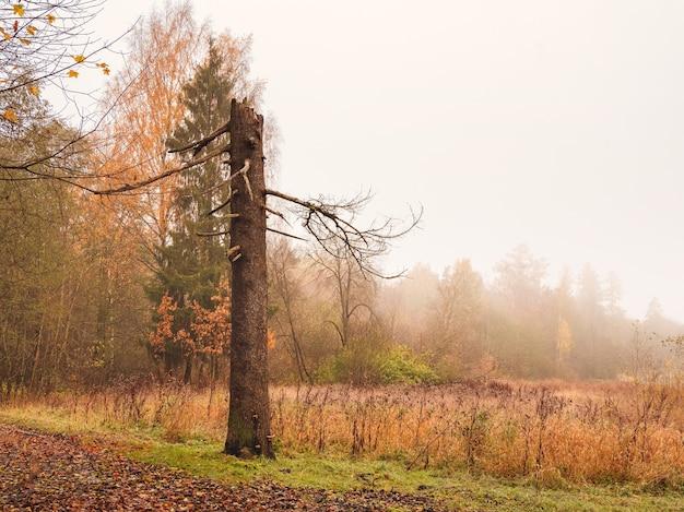 壊れた松の木自然な霧の秋の風景