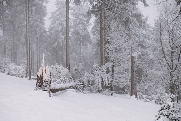 Broken tree in the forest, winter and snow