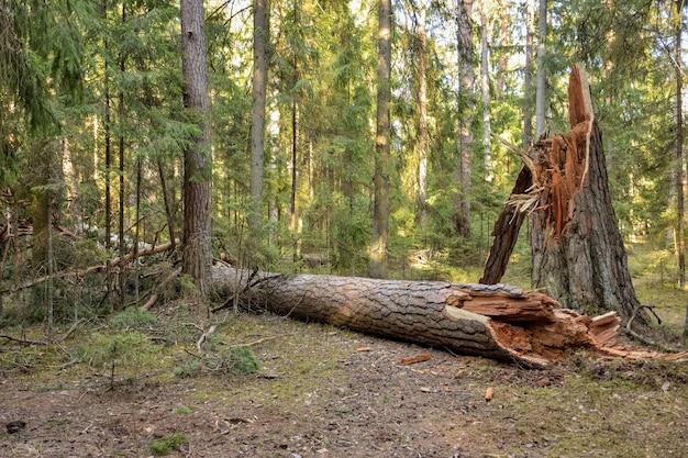 倒れた木の森の壊れた木の幹