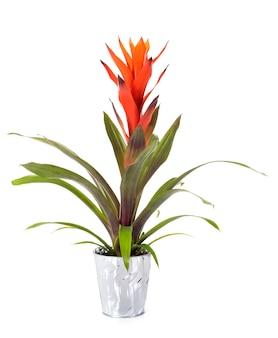 Bromelia plant in studio
