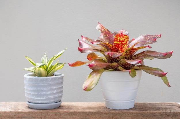 Bromeliad 및 작은 뱀 plannt 또는 grund 나무 테이블 부드러운 배경에 화분 콘크리트에 hahnii 녹색