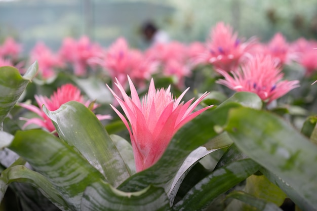 Bromeliad (bromeliaceae) plant tropical flower