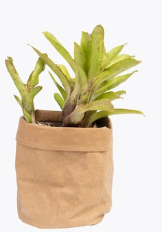 Bromeliad in brown recycled paper pot isolated on white with clipping path Premium Photo