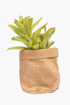 Bromeliad in brown recycled paper pot isolated on white with clipping path