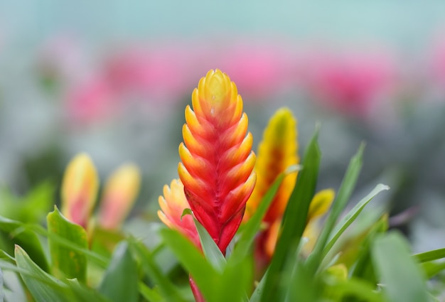 Bromeliad flower / beautiful red and yellow bromeliad in garden nursery on pink plants bac