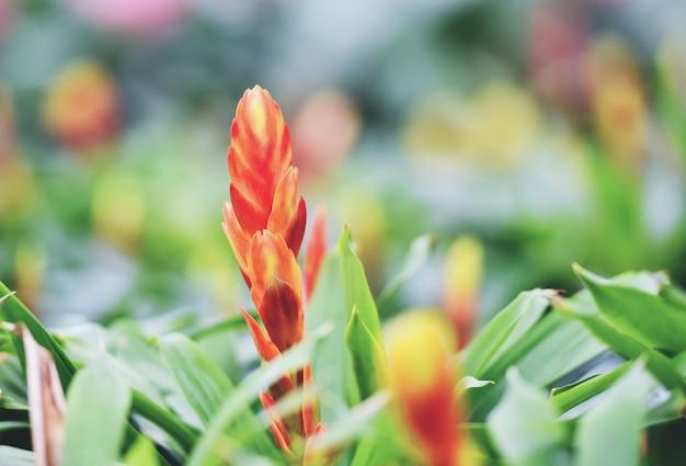 Bromeliad flower decorate - beautiful red and yellow bromeliad garden nursery plants