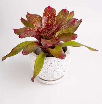Bromeliad  neoregeria charm in modern white container isolated on white background