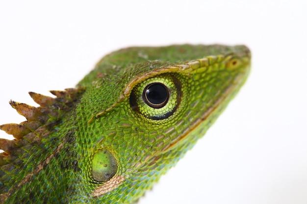Bronchocela jubata forest lizard isolated on white