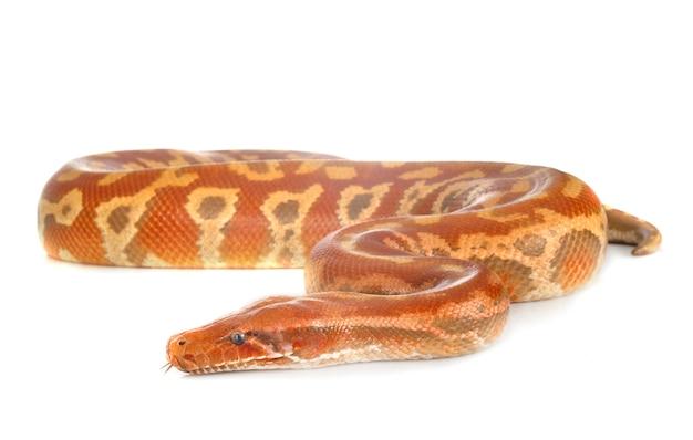 パイソンbrongersmaiヘビ分離