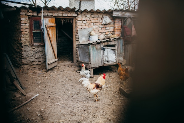 A brood of chickens walking on the poultry farm