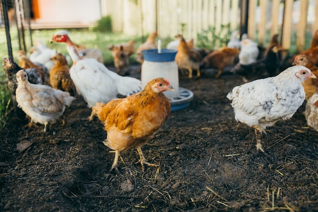 A brood of small chickens on a poultry farm