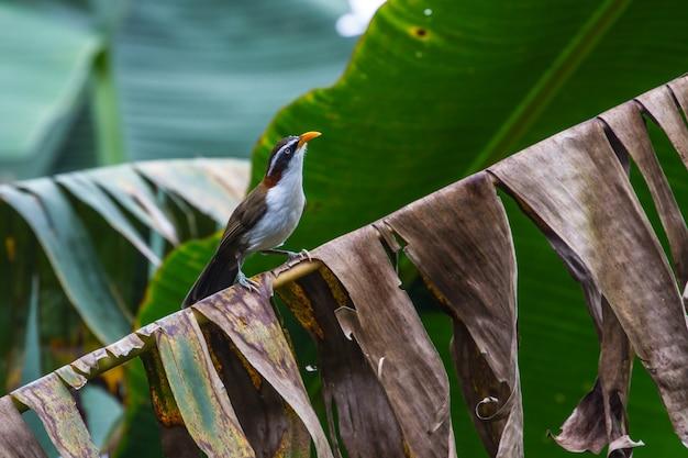白いbrowed scimitar-babbler(po matorhinus schisticeps)の自然の中の鳥