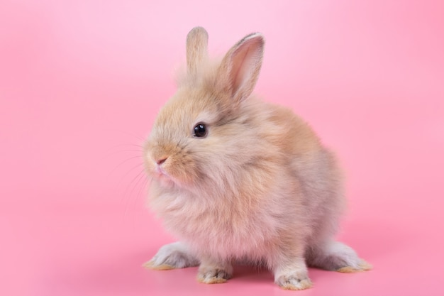 Brown adorable baby rabbit on pink background. cute baby rabbit.