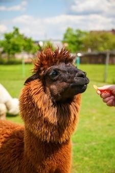 Коричневая альпака ест морковь из рук человека