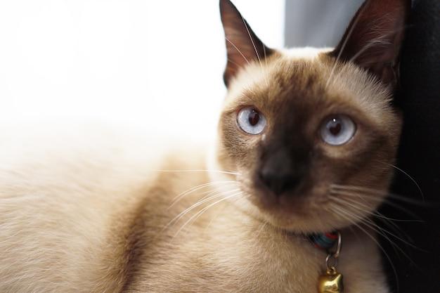 青い目をした茶色とベージュの猫