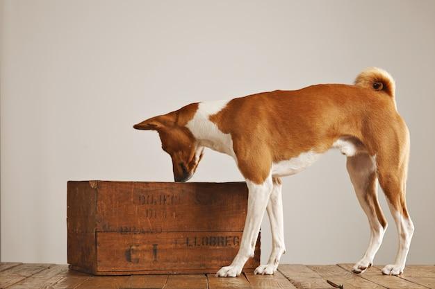 茶色と白のバセンジー犬が空気を嗅ぎ、白い壁のスタジオでヴィンテージの茶色のワインボックスを覗き込む