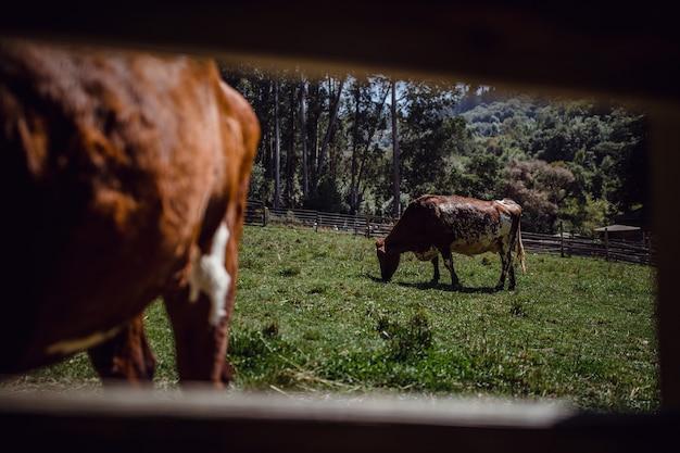 Коричневая и белая корова в заборе
