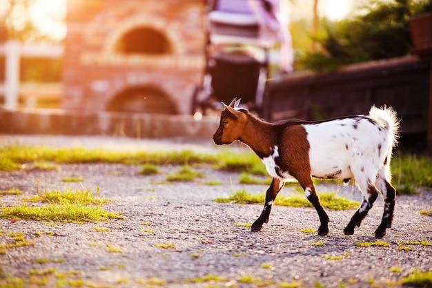 Козочки коричневого цвета стоят в летней траве. милый с забавным.