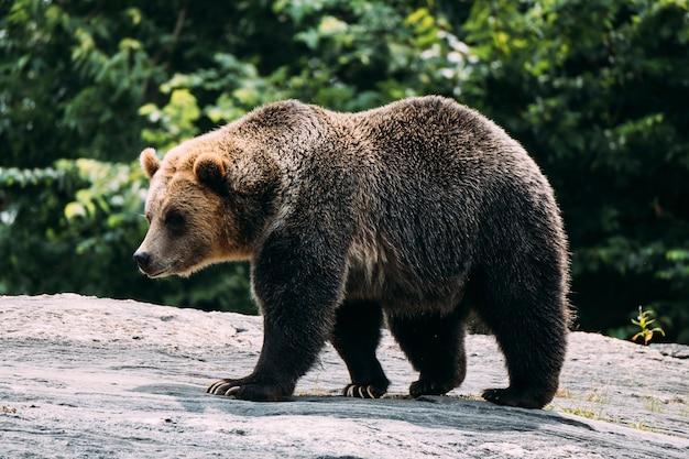 Бурый медведь в зоопарке бронкса. нью-йорк