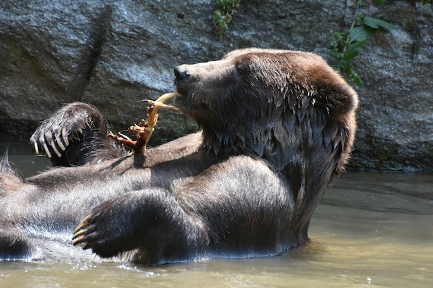 목욕을 하고 나뭇가지를 갉아먹는 불곰