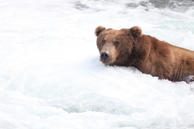 Бурый медведь ловит рыбу в реке на аляске