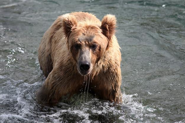 アラスカの川で魚を捕まえるヒグマ