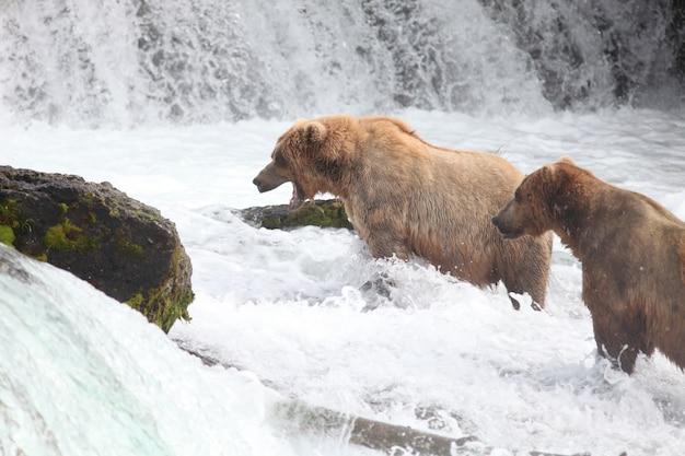 알래스카의 강에서 물고기를 잡는 갈색 곰
