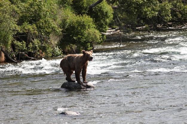 Orso bruno che cattura un pesce nel fiume in alaska