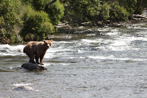 Brown bear catching a fish in the river in alaska