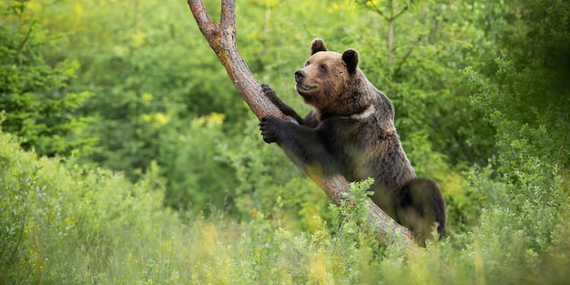 Brown bear climbing on tree in summer forest
