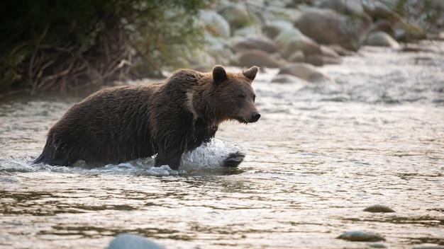 Бурый медведь пересекает реку в осенней утренней природе