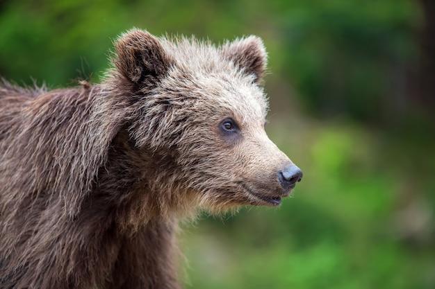 Детеныш бурого медведя в лесу. животное в природе обитания