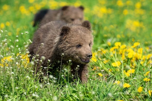 夏の野原で遊ぶヒグマの子。黄色い花を持つ草のursusarctos