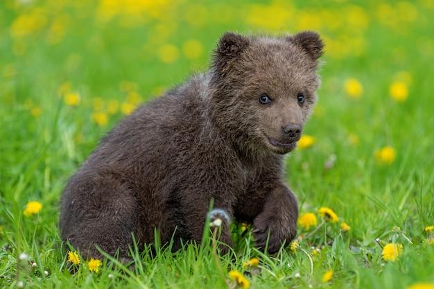 Детеныш бурого медведя играет на летнем поле. ursus arctos в траве с желтыми цветами