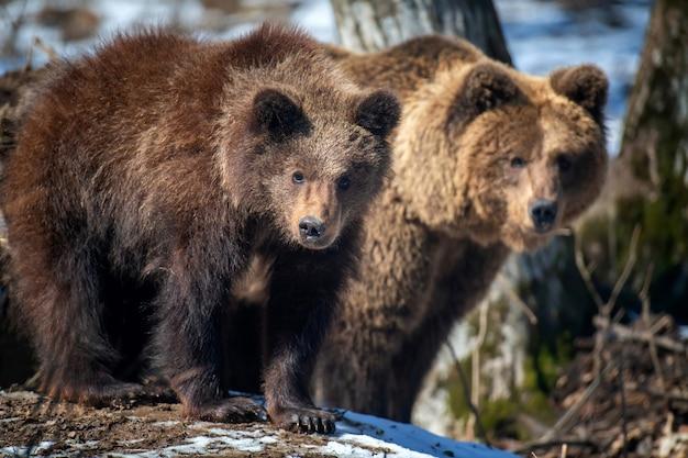 숲에서 갈색 곰 가족을 닫습니다. 봄 자연에서 야생 동물 장면. 자연 서식지의 야생 동물