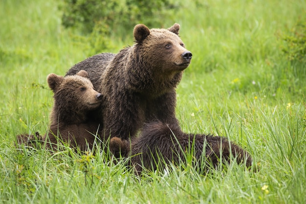 Brown bear family resting on meadow during the summer.