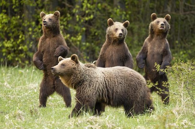 Семья бурого медведя с матерью и любознательные 3 новичка стоя на природе задних ног весной.