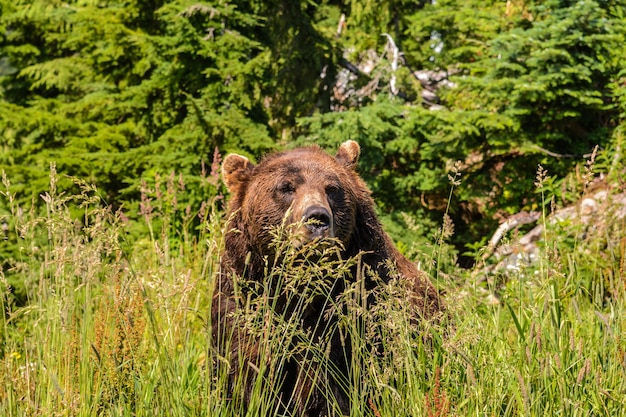 Brown bear in the grass. wild animals in nature