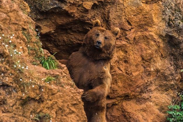 Бурый медведь в заповеднике