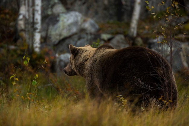 Бурый медведь в куусамо, лапландия, северная финляндия
