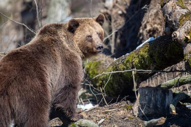가까이서 숲에 갈색 곰입니다. 봄 자연에서 야생 동물 장면. 자연 서식지의 야생 동물