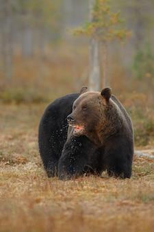 핀란드의 자연 서식지에있는 갈색 곰