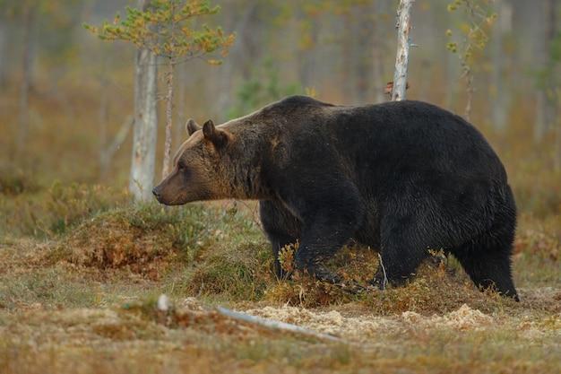 フィンランドの自然生息地のヒグマ
