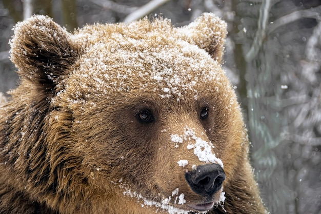 冬の森のヒグマ